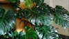 maxresdefault-12-big-leaf-philodendron-indoor-care