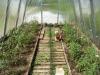 posadka rassady pomidorov v teplicu