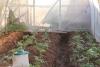 posadka rassady pomidorov v teplicu (11)