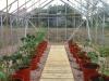 posadka rassady pomidorov v teplicu (13)