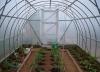 posadka rassady pomidorov v teplicu (2)