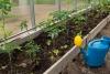 posadka rassady pomidorov v teplicu (5)