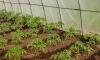 posadka rassady pomidorov v teplicu (6)