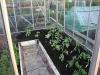 posadka rassady pomidorov v teplicu (7)