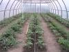 posadka rassady pomidorov v teplicu (9)