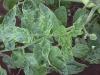 tabachnaya-mozaika-tomatov