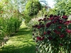 tureckaya gvozdika na klumbe (15)