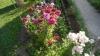 tureckaya gvozdika na klumbe (4)