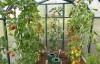 uhod za pomidorami v teplice