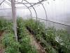 uhod za pomidorami v teplice (11)