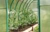 uhod za pomidorami v teplice (12)