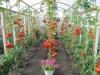 uhod za pomidorami v teplice (2)
