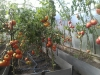 uhod za pomidorami v teplice (3)