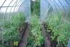 uhod za pomidorami v teplice (4)