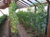uhod za pomidorami v teplice (5)