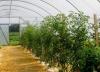 uhod za pomidorami v teplice (6)