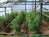 uhod za pomidorami v teplice (8)
