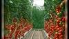uhod za pomidorami v teplice (9)
