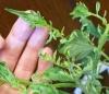 zheltaya kurchavost' bolezn' pomidor (4)